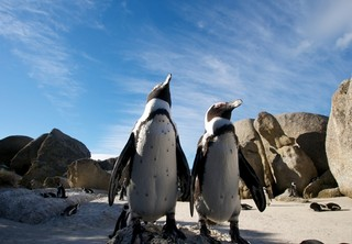 Boulders Beach Penguin Colony, Cape Town